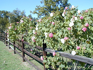 Confederate Roses in early November, 2006